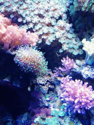 Coral and Anenomes